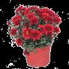 176225_01_chrysanthemum-multiflorum-cs-12-cm.png