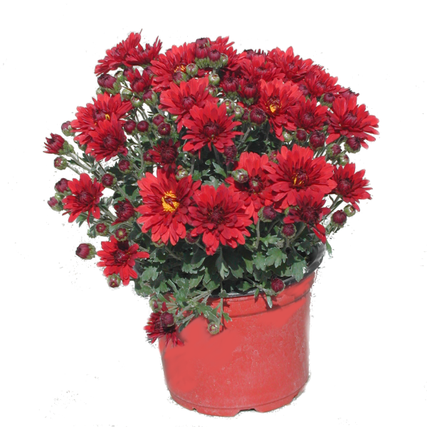 176225_01_chrysanthemum-multiflorum-cs-12-cm.png