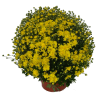 176231_01_chrysanthemum-multiflorum-cs-19-cm.png