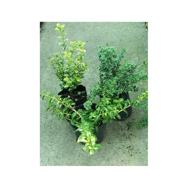 226951_01_euonymus-mix-2-l.png