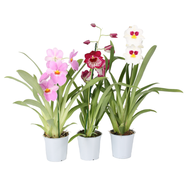 258014_01_miltonia-orchidea-mix-cs-12-cm.png