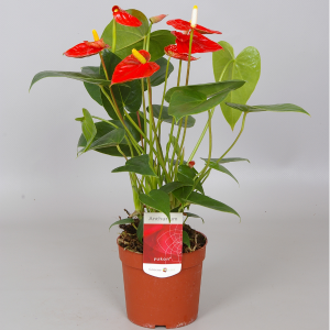 FLAMINGÓVIRÁG MIX CS:12CM N:45CM ANTHURIUM