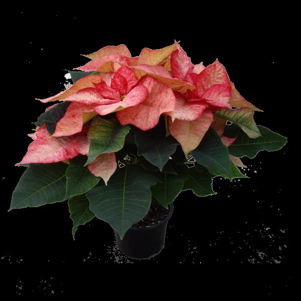 261286_03_mikulasvirag-extra-szinek-cs_-12-cm.png