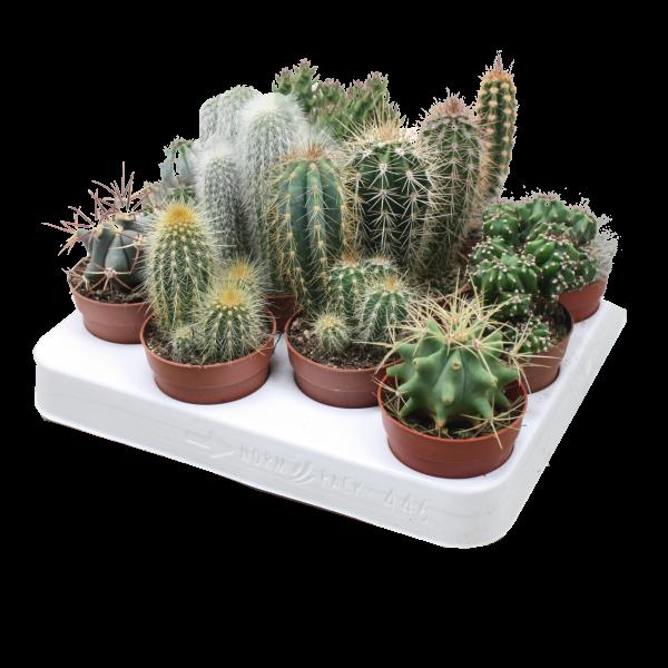 263335_01_cactus-mix-cs-6-5-cm.png