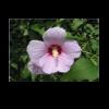 270707_01_hibiscus-mix-cs-12-cm.png