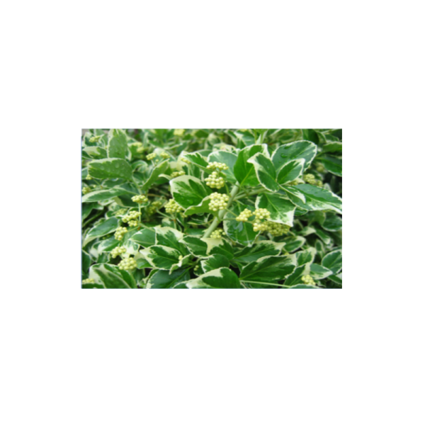 270727_01_euonymus-c2.png