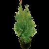 270731_01_thuja-occidentalis-smaragd-c2-n-40-60-cm-smaragd-tuja.png