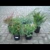 270733_01_juniperus-mix-c2-kuszo-boroka.png