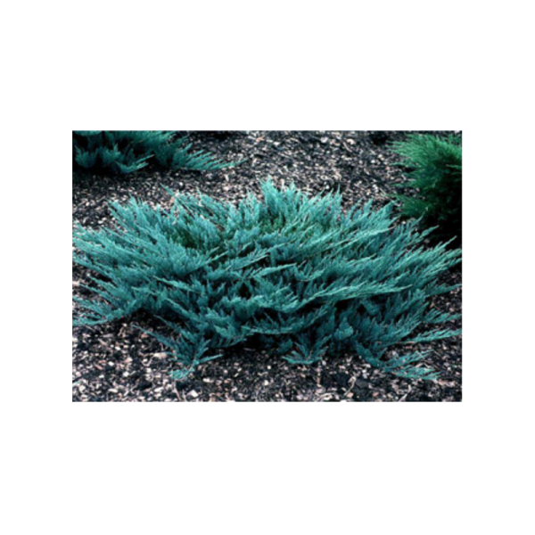 270735_01_juniperus-blue-chip-c2.png