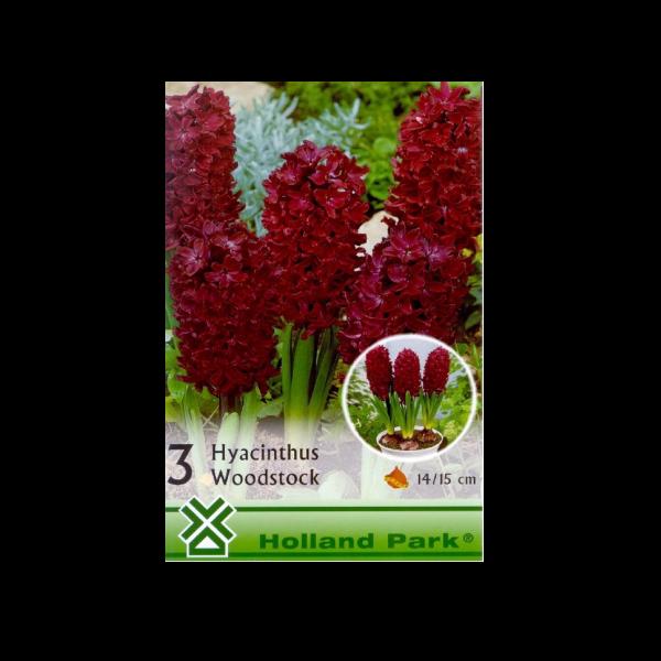 275418_01_vh-1-hyacinthus-woodstock.png