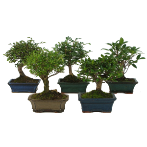 BONSAI CS: 15 CM, N: 30 CM ALÁTÉTTEL