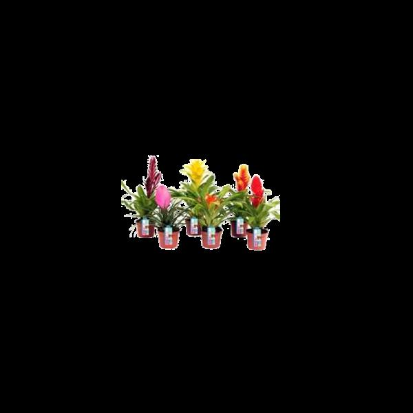 279903_01_bromelia-royal-xl-mix-cs-9-cm.png