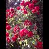 291326_01_futo-rozsa-2-l-kontenerben.png