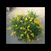 293560_01_cytisus-cs-14-cm.png