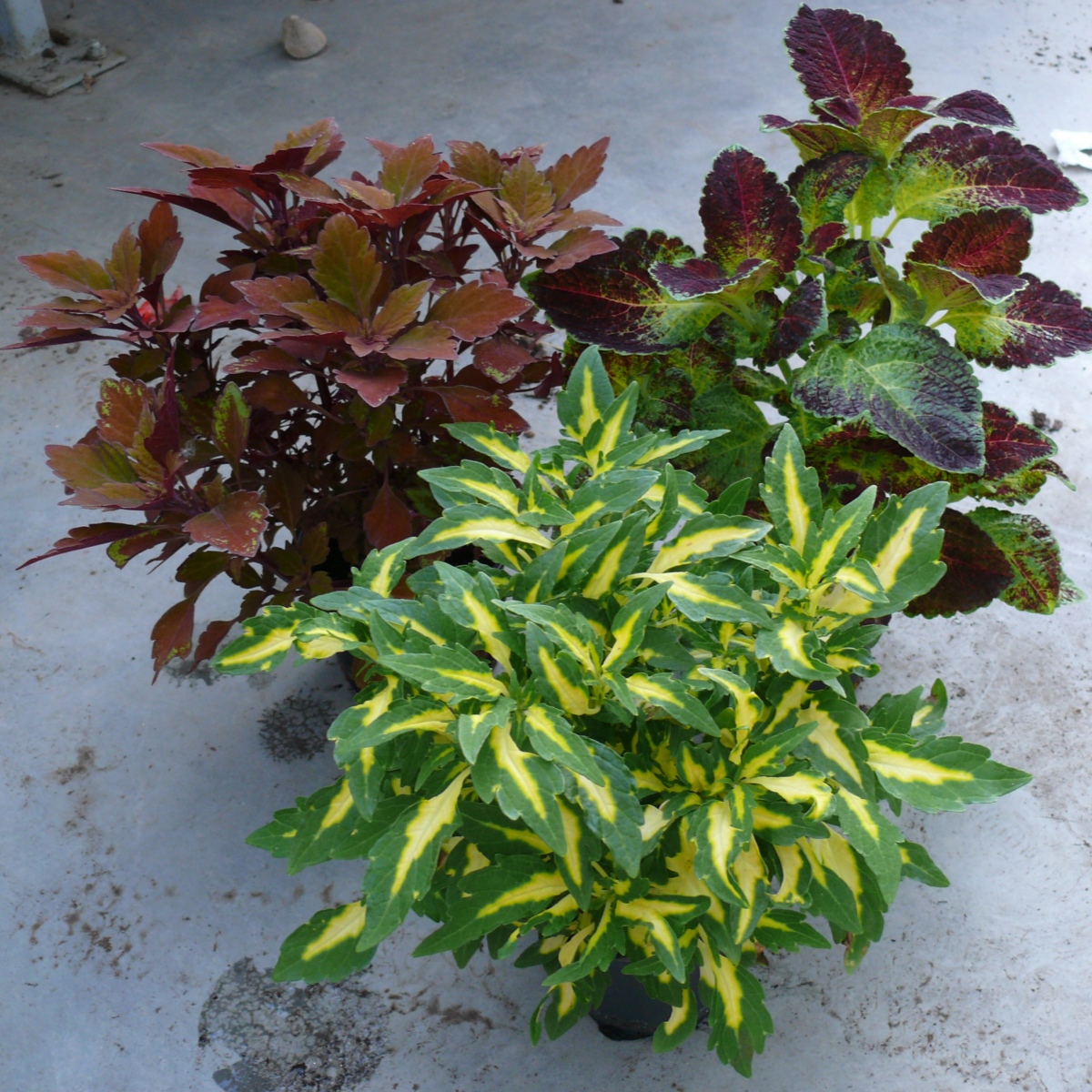 BALKON STRUKTÚR NÖVÉNYEK CS:10,5 CM - Balkon növény - Növény,