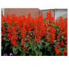 299701_01_salvia-splendens-cs-10-5-cm.png