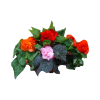 302298_01_gumos-begonia-cs-12-cm-begonia-tuberhybrida-nonstop.png.png