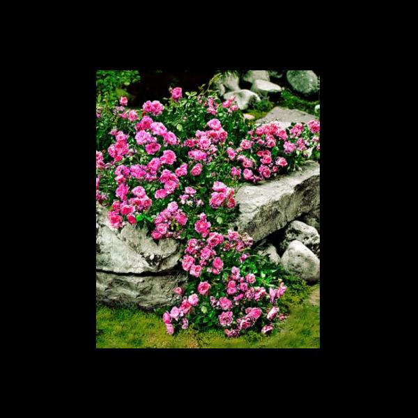 303868_01_rozsa-talajtakaro-c2.png