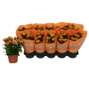 306174_01_chrysanthemum-embera-cs-12cm.png