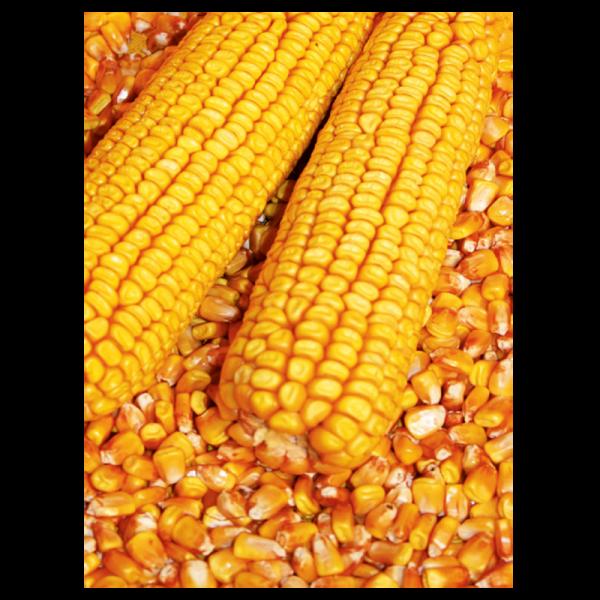 310699_1_hibrid-kukorica-mnk.png
