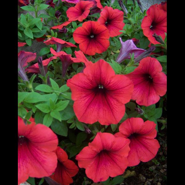 56858dff7fb4 PETÚNIA CS:10,5CM EXTRA SZÍNEK - Balkonnövény - Növény, mag,