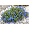 KŐMAGCSERJE CS:10,5CM LITHODORA SP.