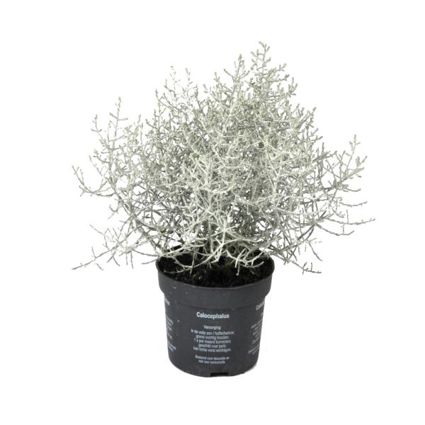 Faiskolai növények