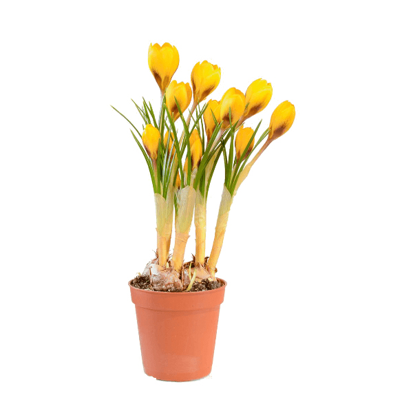 Évelő virágok